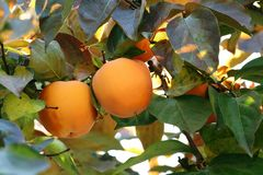 Árbol de caqui con las frutas anaranjadas maduras en el jardín del otoño fotografía de archivo libre de regalías
