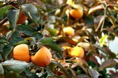 Árbol de caqui con las frutas anaranjadas maduras en el jardín del otoño imagen de archivo