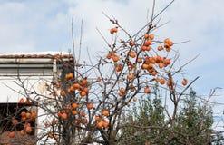 Árbol de caqui en Edessa foto de archivo