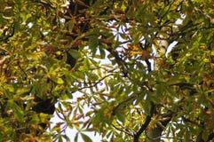Árbol de castaña Fotos de archivo libres de regalías