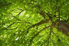 Árbol de castaña foto de archivo libre de regalías