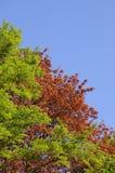 Árbol de castaña con hojas de sobra, del rojo y un abedul con las hojas verdes frescas Imagenes de archivo