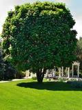 Árbol de castaña de caballo Fotos de archivo libres de regalías