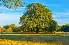 Árbol de castaña en un parque del arbolado en otoño fotografía de archivo