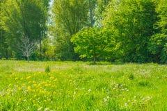 Árbol de castaña en un prado en luz del sol Imagenes de archivo