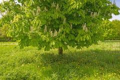 Árbol de castaña en un prado en primavera Imagen de archivo