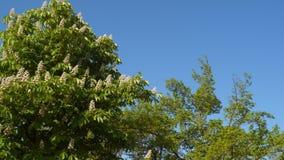 Árbol de castaña floreciente metrajes