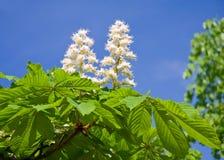 Árbol de castaña floreciente imagen de archivo