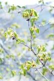 Árbol de castaña floreciente Fotos de archivo libres de regalías