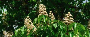 Árbol de castaña floreciente Fotografía de archivo