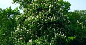 Árbol de castaña floreciente del verde de Kiev, un símbolo de la ciudad ucrania Vuelo del abej?n metrajes