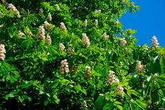 Árbol de castaña floreciente de la primavera fotos de archivo