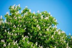 Árbol de castaña floreciente de la primavera fotos de archivo libres de regalías