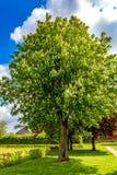 Árbol de castaña hermoso y enorme que florece en un parque con la hierba verde fotos de archivo libres de regalías