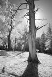 Árbol de castaña muerto Imágenes de archivo libres de regalías