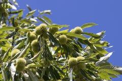 Árbol de castaña por completo de rizos y de hojas del verde en un cielo azul imagenes de archivo