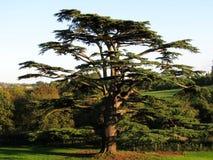Árbol de cedro Fotos de archivo libres de regalías