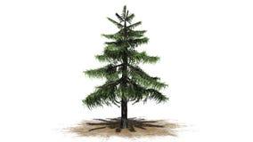 Árbol de cedro de Alaska stock de ilustración