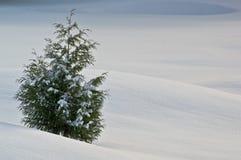 Árbol de cedro del invierno Fotos de archivo