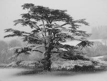 Árbol de cedro en invierno Imagen de archivo libre de regalías