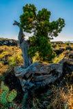 Árbol de cedro interesante en un flujo de lava en el desierto de New México Fotos de archivo