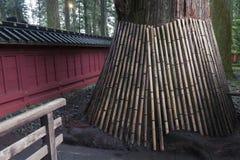 Árbol de cedro japonés Fotos de archivo libres de regalías