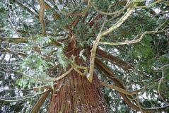 Árbol de cedro masivo fotografía de archivo