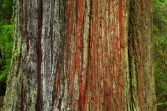 Árbol de cedro de rojo occidental del bosque del noroeste pacífico y del viejo crecimiento imagen de archivo libre de regalías