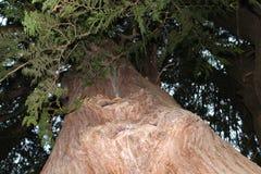 Árbol de cedro viejo Foto de archivo libre de regalías