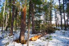 Árbol de cedro viejo quebrado en el bosque del invierno Foto de archivo libre de regalías