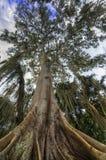 Árbol de Ceiba Imagenes de archivo