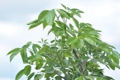 Árbol de ceiba del Bombax Fotos de archivo