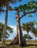 Árbol de ceiba gigante Fotografía de archivo