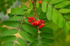 Árbol de ceniza con las bayas rojas Fotografía de archivo
