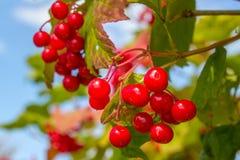 Árbol de ceniza con las bayas rojas Imagen de archivo libre de regalías