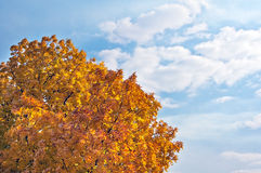 Árbol de ceniza del otoño Imágenes de archivo libres de regalías
