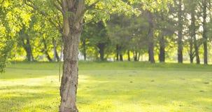 Árbol de ceniza en día de verano soleado en parque Fotografía de archivo libre de regalías