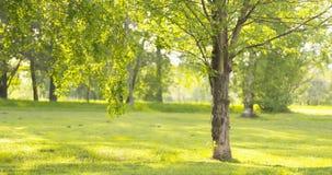 Árbol de ceniza en día de verano soleado en parque Fotos de archivo libres de regalías