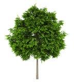 Árbol de ceniza europea aislado en blanco Fotos de archivo