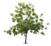 Árbol de ceniza verde Fotografía de archivo libre de regalías