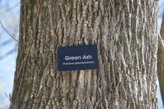 Árbol de ceniza verde Fotos de archivo libres de regalías