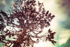 Árbol de cicuta con la coloración fotos de archivo