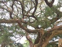 Árbol de ciprés Gnarled Fotografía de archivo libre de regalías