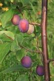 Árbol de ciruelo imagen de archivo