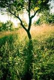 Árbol de ciruelo Imagen de archivo libre de regalías