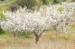 Árbol de ciruelo fotos de archivo