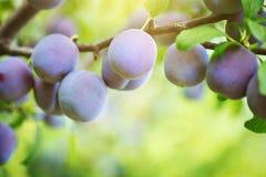 Árbol de ciruelo con las frutas jugosas en el jardín fotos de archivo