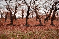 Árbol de ciruelo deshojado en huerta durante invierno frío seco foto de archivo libre de regalías
