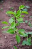 Árbol de ciruelo en jardín Fotos de archivo