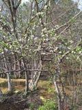 Árbol de ciruelo en la floración Foto de archivo libre de regalías
